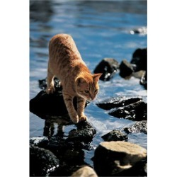 Art Print: Cat Going From Stone To Stone: 12x9in