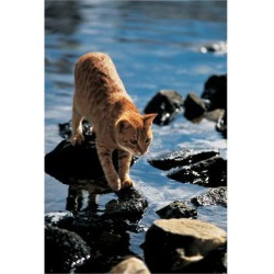 Art Print: Cat Going From Stone To Stone: 16x12in