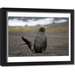 Framed Print. A seal sits on Deception Island, which is the Caldera of an active volcano in Antarctica