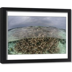 Framed Print. A staghorn coral colony grows in shallow water in the Solomon Islands