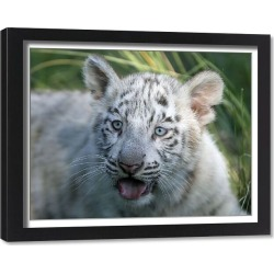 Framed Print. A three-month-old Bengal white tiger cub is seen inside its enclosure at the Buenos