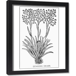 Framed Print. BOTANY: QUAKING GRASS. Briza media
