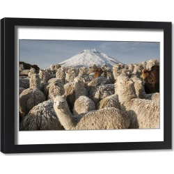 Framed Print. Cotopaxi Volcano (5897 meters) & Alpacas (Lama pacos) Highest active volcano in the world