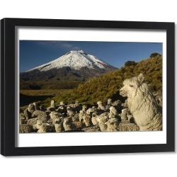 Framed Print. Cotopaxi Volcano (5897 meters) and herd of Alpacas (Lama pacos) Highest active volcano in the world