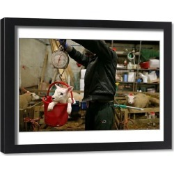 Framed Print. Lambing season