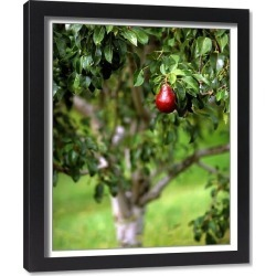Framed Print. USA, Oregon, Hood River Valley. Red Bartlett pear on tree branch in orchard. iCredit as