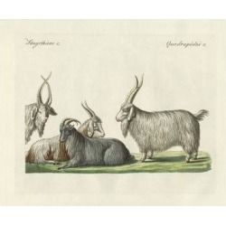 Giclee Painting: The Kashmir Goats Introduced in France, 24x18in.