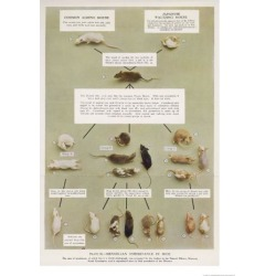 Giclee Print: Diagram Using Real Mice to Show Mendel's Inheritance in Mice Theory by A.d. Darleishire: 24x18in