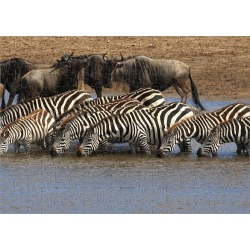 Jigsaw Puzzle. Group of zebras checking for crocodiles in river