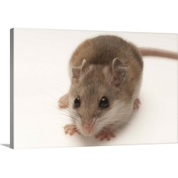 Large Solid-Faced Canvas Print Wall Art Print 30 x 20 entitled A rare male Alabama beach mouse, Peromyscus polionotus ammo...