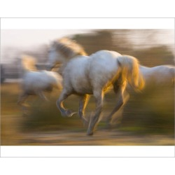 Photograph. France, Provence. White Camargue horses highlighted by sunlight while running. Credit as