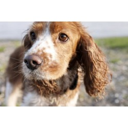 Photographic Print: Mixed Breed Dog of Cocker Spaniel and King Charles Spaniel, Close-Up by S. Uhl: 24x16in
