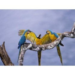 Poster: Jones' Blue and Yellow Macaw, Family, Peruvian Amazon, 24x18in