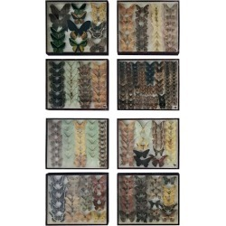 Set Of Eight Shadow Boxes Of Butterfly And Moth Specimens