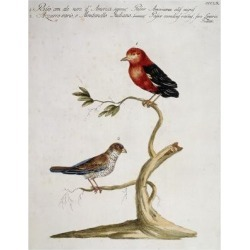 Giclee Print: Red American Sparrow (Passer American Alis Nigris) and Blue Variety Sparrow (Passer Caeruleus Variu: 24x18in